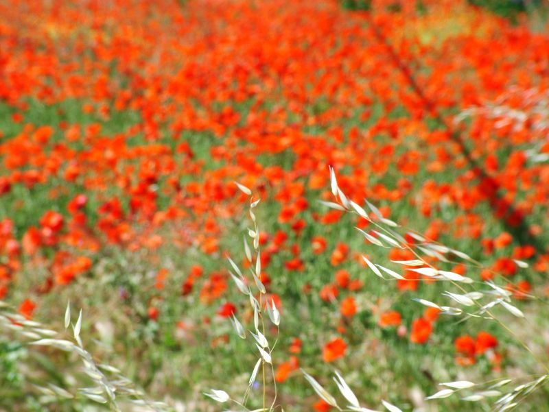 Poppies lorgues 004 (2)