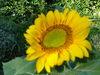 Goodmorning_sunflower_005_2