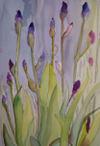 Iris_in_spring_2008